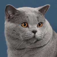 British Shorthair 1 Cat Pax Takuma