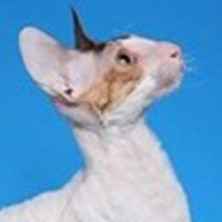 Cornish Rex 1 Alter