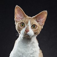 Devon Rex 1 Alter Wake Up Call Keeley