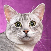 Egyptian Mau 1 Cat Milky Way Spraker