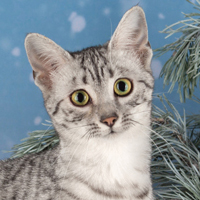 Egyptian Mau 1 Kitten Bubastion Gorelkina