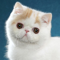 Exotic Shorthair 1 Kitten