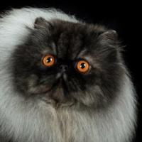 Welcome to TICA - The International Cat Association, TICA cats, TICA