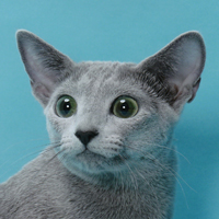 Best Russian Blue Of The Year