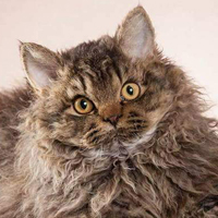 Best Selkirk Rex KITTEN Incroyable