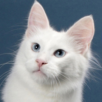 Turkish Angora 1 Alter Jon Snow Thompson