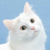 Turkish Van 1 Kitten Ceylan Lindsey