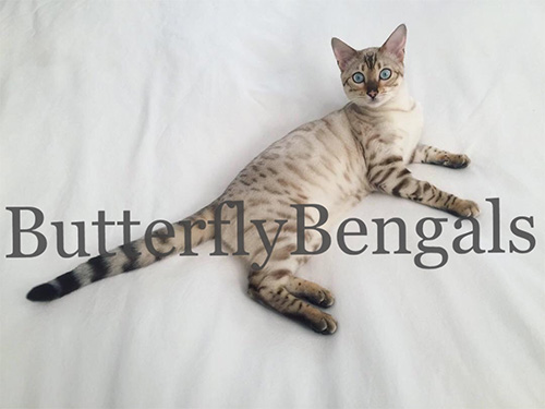 BUTTERFLYBENGAL 2019