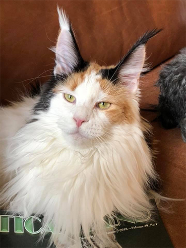 COMAINECOONS MAINE COON 2018