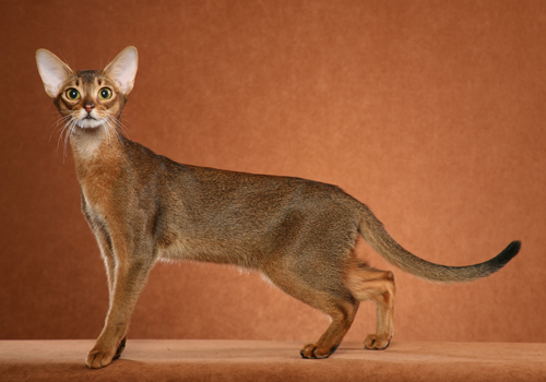 Abyssinian Breed Full Body