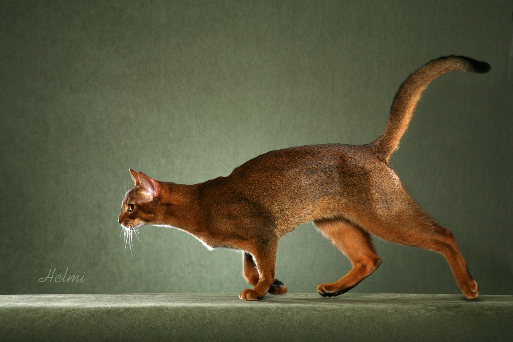 Abyssinian Breed Full Body2 copy