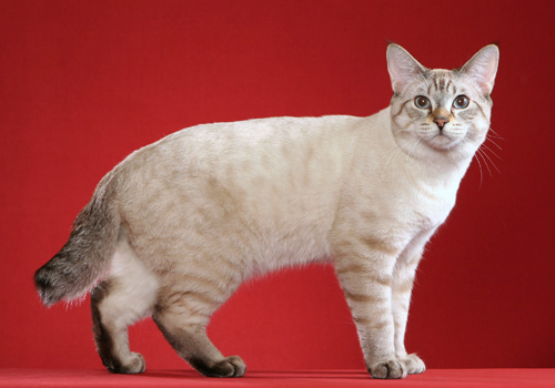 American Bobtail Breed Full Body2 copy
