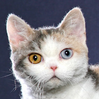 American Wirehair Head Shot