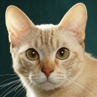 Chausie Breed Head Shot