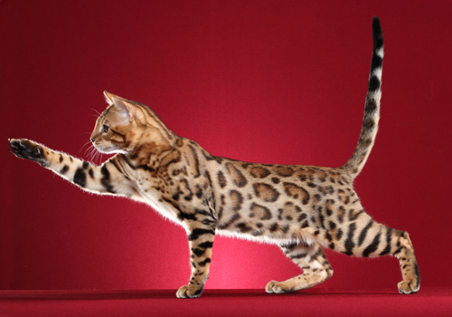 Bengal Full Body