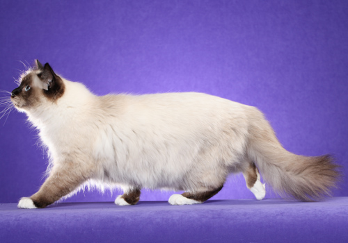 Birman Full Body
