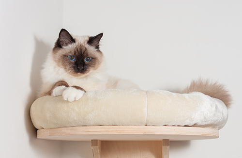 Birman in bed