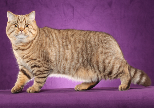 British Shorthair Breeders
