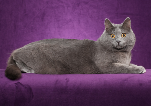 Chartreux Full Body