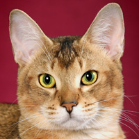 Chausie Head Shot
