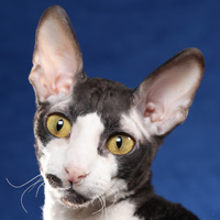 Cornish Rex Head Shot