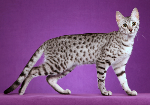 Egyptian Mau Full Body