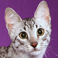 Egyptian Mau Head Shot