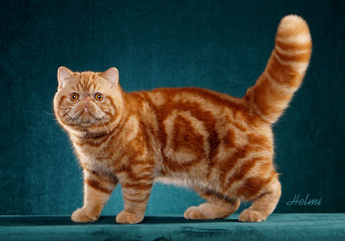 Exotic Shorthair Full Body