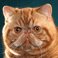 Exotic Shorthair Head Shot