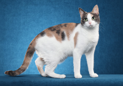 Household Pet Shorthair Full Body