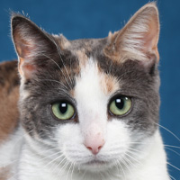 Household Pet Shorthair Head Shot