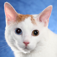 Japanese Bobtail Head Shot