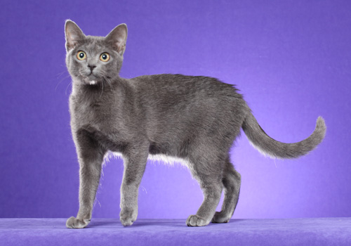 Korat Full Body