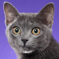 Korat Head Shot