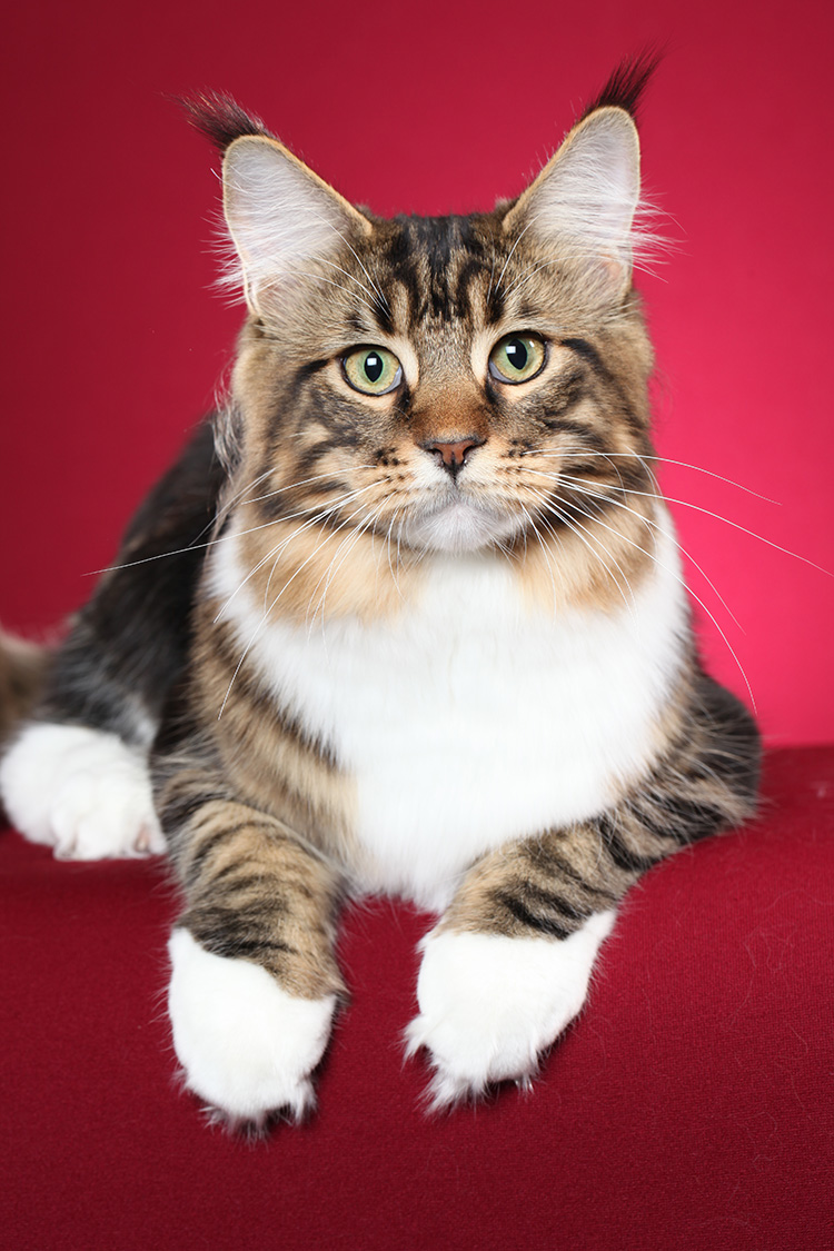 Maine Coon Close Up Red Background