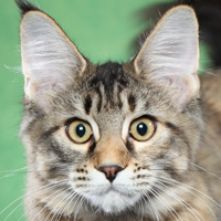 Maine Coon Polydactyl Head Shop