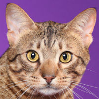 Ocicat Head Shot