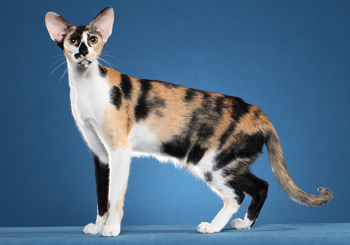 Oriental Shorthair Full Body
