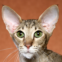 Oriental Shorthair Head Shot