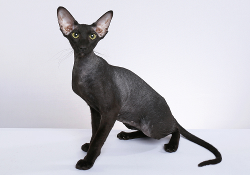 Peterbald Full Body