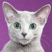 Russian Blue Head Shot