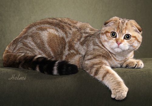 Scottish Fold Full Body