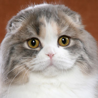 Scottish Fold Longhair Head Shot