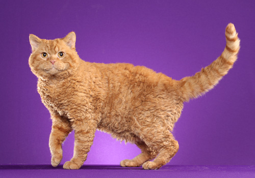 Selkirk Rex Full Body