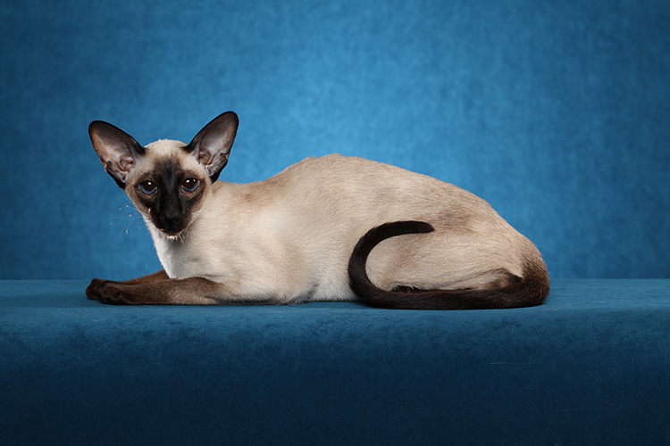 Siamese laying down