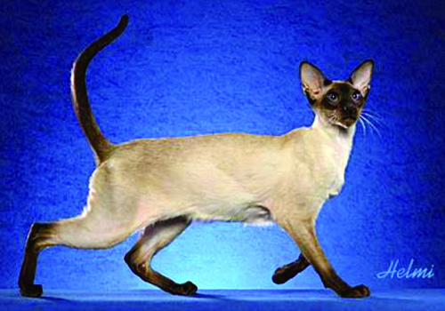 Siamese Full Body