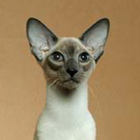 Siamese Head Shot