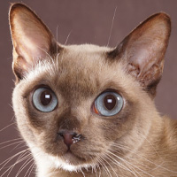 Tonkinese Head Shot