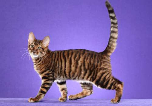 Toyger Full Body
