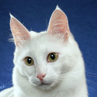Turkish Angora Head Shot